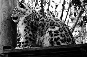 The Leopardess Watches by roamingtigress
