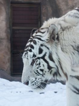 white tiger by CTPAHH1K
