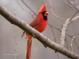 cold cardinal male by photom17
