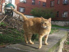 orange cat outdoors 01 by CotyStock