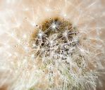 Droplet on the dandelion by myphotorose