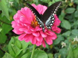 Spicebush Swallowtail I by curiousused
