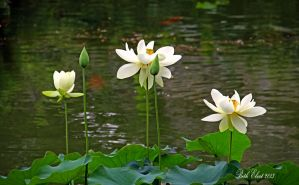 Lotus by embethe