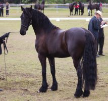 STOCK - Friesian Show 2012-104 by fillyrox