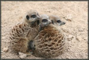 Meerkats by ScarletMongoose