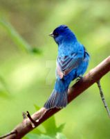 Indigo Bunting 30 by GhostInThePines