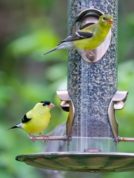 Goldfinches by LakeFX