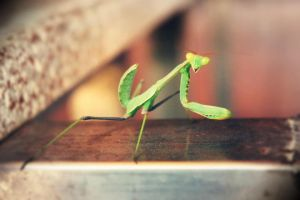 Mantodea by Lolipod