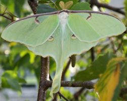 Lunar Moth 2 by Penny-Stock