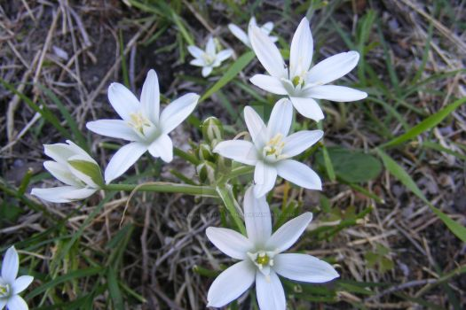 Star of Bethlehem cluster by DragonoftheElements