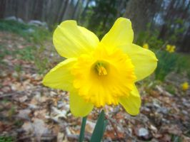 Yellow Daffodil staring at you by WolfieMaster