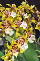 Chocolate orchids, wrapped by fosspathei