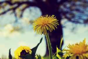 Dandelion and Tree by Artursphoto