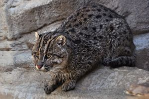 Fishing Cat 2505 by robbobert