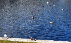 Ducks, Pigeons + Seagulls (Estonia) by Anri82