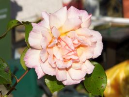 Rose Bloom by LordShenlong