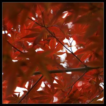 Red leaves Japan by OnVee1