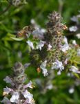 Bee with Salvia blossom by dkbarto