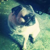 Frankie The Pug by Nelby2388