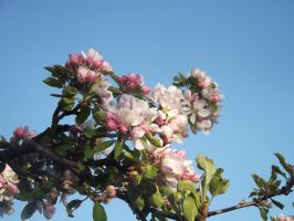 Apple Blossom 4 by YesIamEccentric