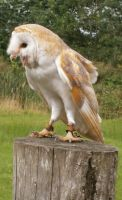 Perching Barn Owl by hilldren