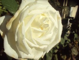 White Rose by AngelSaphireBlue