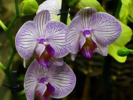 Orchid Series 1 by Formel