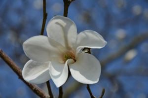 magnolia II by mimose-stock