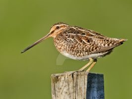 I like to stand on posts too - Snipe by Jamie-MacArthur