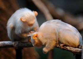 Silvery Marmosets grooming by noelholland