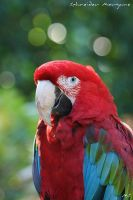 Green-winged Macaw by MorganeS-Photographe