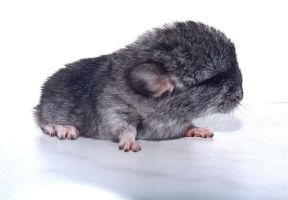 The newborn chinchilla 2 by eRiver