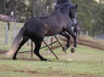 Carlos Andalusian Stallion Rear Leap by Chunga-Stock
