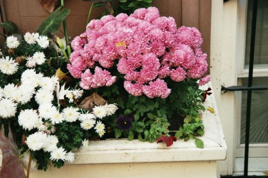 Pink and White Flowers by liivexurxliifex2