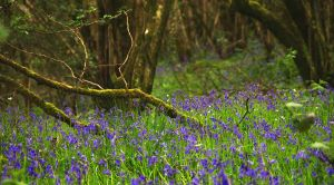 Drumlamph Wood, Spring III by younghappy