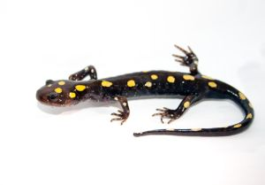 Spotted Salamander by The-Build