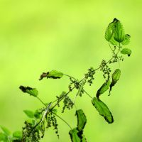 urtica dioica by tsigane