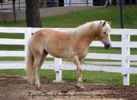 Haflinger 4 by EquineStockImagery