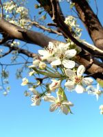 Pear Blossoms 3 by Loriele