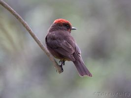 Red Head by perubirder