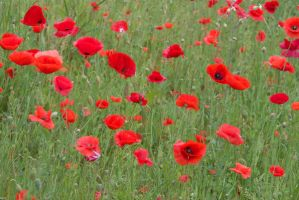 Poppies 6 by steppeland