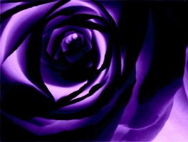 Purple Rose III by emilymhanson