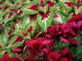 Coleus with Red Flowers by LadySiha