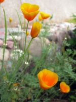 California Poppies Dreaming by Asura-Valkyrie