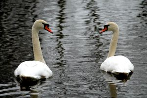 Two Swans by PhotographyisArt123