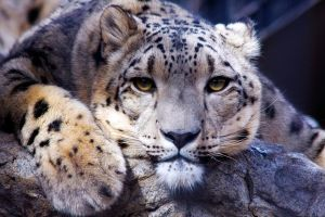 _Snow Leopard_ by Aikya