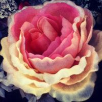 pink and white rose by peacekid4