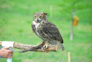 Catherine Cross Great Horned Owl by CatherineCross