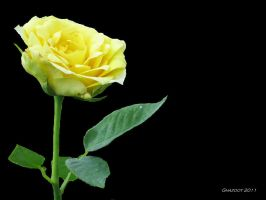 Yellow Rose of Minnesota by ghazoot