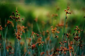 Reeds In The Wind by PaulDavis